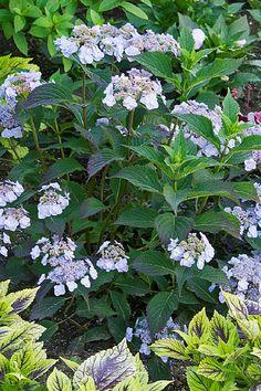 Hydrangea Not Blooming, Hydrangea Garden, Garden Yard Ideas, Diy Garden Projects, Garden Path, Pruning Hydrangeas, Planting Flowers, Hydrangea Varieties, Small Garden Landscape