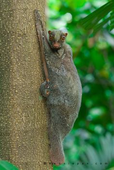 Flying Lemur with young