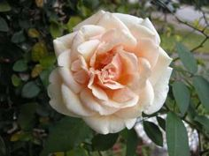 Seven tips for growing climbing roses