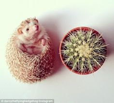 Meet Darcy The Cutest Hedgehog On Instagram Cute Pinterest - Darcy cutest hedgehog ever