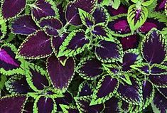 Made in the Shade: Vibrant Coleus Can Make Your Garden Shine