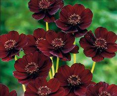 Fiore che profuma di cioccolato (flower that smells like chocolate)