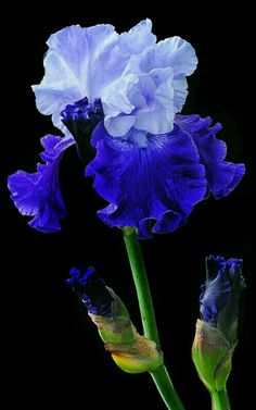 Iris Photograph - Blue On Blue by Dave Mills Blue Iris Flowers, Exotic Flowers, Amazing Flowers, Exotic Plants, Beautiful Flowers, Iris Garden, Blue Garden, Plantas Bonsai, White Iris