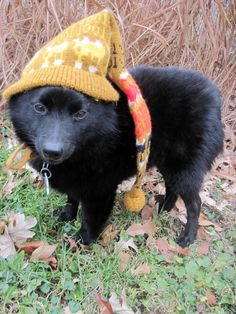 Mario my rescue schipperke! Baby it's cold outside!  November 2014