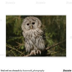 Ural owl on a branch poster Poster Prints, Owl, Bird, Shop, Animals, Design, Animales, Animaux, Owls