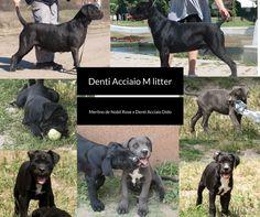 Cane Corso puppies for sale Denti Acciaio M-litter Merlino de Nobil Rose x Denti Acciaio Dido