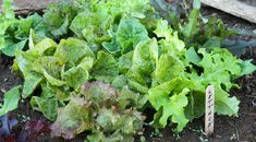 Grow extra early salad crops under cover!