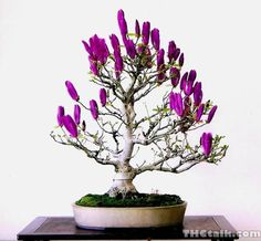 Purple Saucer Magnolia