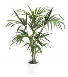 Howea Forsteriana: Kentia Palm Care in Kentia Palms, Houseplants Ficus, Mini Palm Tree, Palm Tree Plant, Indoor Palm Trees, Indoor Palms, Palm House Plants, Palm Plants, Plants Indoor, Large Plants