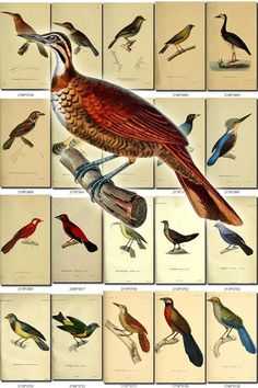 BIRDS-160 Collection of 140 vintage pictures Woodpeckers