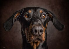 We've gathered our favorite ideas for 30 Striking And Eye Catching Gallery Animal Portraits, Explore our list of popular images of 30 Striking And Eye Catching Gallery Animal Portraits. Doberman Dogs, British Wildlife, Dog Wallpaper, Happy Animals, Dog Portraits, Dog Pictures, Pet Photos, Animal Photography, Animals Beautiful