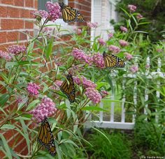 Monarchs and milkweed by Lisa Serda-Ansel ~ Monarch Butterflies and Citizen Science