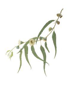 eucalyptus botanical print - Google Search