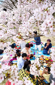 People enjoy the Hanami flower viewing party under fully bloomed cherry blossoms on April 4 2015 in Osaka Japan