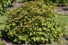 Dwarf European Cranberry Bush.