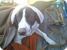 Cedar Rapids, IA - Pointer/Foxhound Mix. Meet Zeb (Courtesy Listing), a dog for adoption. http://www.adoptapet.com/pet/10902370-cedar-rapids-iowa-pointer-mix