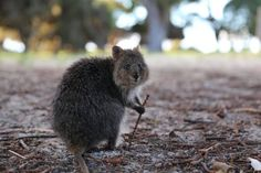 15 Photos That Prove Quokkas Are the Happiest Animals in the World | Blaze Press
