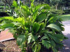 Arenga hookeriana