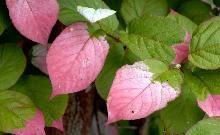Kamæleonbusk / Actinidia kolomikta / Slyngplanter