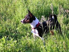 Saw this photo on Bing-looked very familiar and I realized it is an old photo of my Basenji, Jello. He was hunting Voles in this photo. I adopted May of this year!