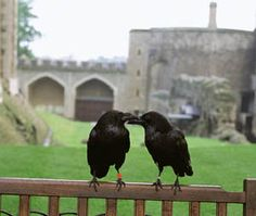 """At the Tower of London are the famous Ravens. These huge black birds stay in the Tower because legend has it that if the ravens ever left the Tower then """"The Kingdom would fall"""""""