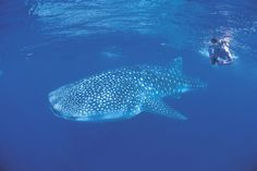 Squalo Balena, Ningaloo Marine Park in Australia                                           How cool would that be!