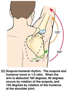 Scapulo Humeral rythm - Google Search