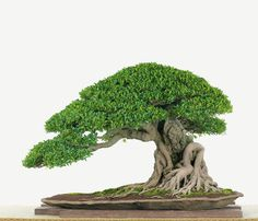 Ficus - Balance!‍♀️‍♀️‍♀️More Pins Like This At FOSTERGINGER @ Pinterest ‍♂️