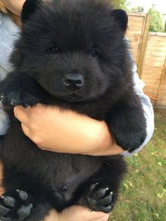 Look at this Cute Little Guy...  Adorable Black Chow Chow Puppy