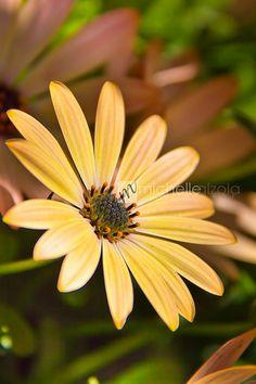 Buttermilk Osteospermum Peach Colors, Flower Art, Dandelion, Art Photography, Gardens, Earth, Yellow, Artwork, Flowers