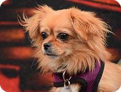 Jersey City, NJ - SEE SPOT RESCUED, Tibetan Spaniel/Pekingese Mix. Meet Carly Rae Jepsen, a dog for adoption. http://www.adoptapet.com/pet/14676218-jersey-city-new-jersey-tibetan-spaniel-mix