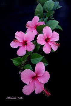Botanical Flowers, Hibiscus Flowers, Exotic Flowers, Real Flowers, Amazing Flowers, Pretty Flowers, Wallpaper Nature Flowers, Beautiful Flowers Wallpapers, Flower Phone Wallpaper
