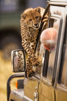 """Cheetah: """"Excuse me Mister!  Did you see the Antelope, I was chasing, come this way?!"""""""