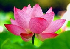 Water Flowers, Water Lilies, Pretty In Pink, Pink Flowers, Beautiful Flowers, Nymphaea Lotus, Pink Flower Pictures, Lotus Tarot, What's My Favorite Color