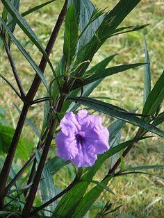 우창꽃 (루엘리아 브리토니아)