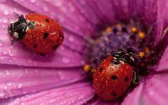 Macro |  Ladybugs