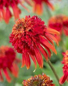 Flowers That Love Full Sun On Pinterest Perennials Sun