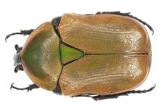 Family: Scarabaeidae Size: 23 mm Distribution: southern Africa Location: Namibia, Etosha National Park, 1400 m leg.det. U.Schmidt, 1994 Photo: U.Schmidt, 2006