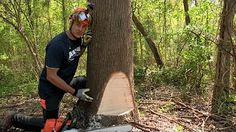 fell tree stihl - YouTube