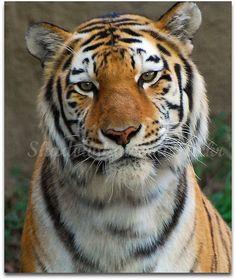 Gaia, female Siberian (amur) tiger - http://www.1pic4u.com/tierbilder/tiger/gaia-female-siberian-amur-tiger/