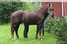 Finnhorse - stallion Elisan Eemeli