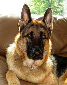 An easy spin on S'mores. German Shepherd Breeds, German Shepherd Puppies, German Shepherds, Big Dogs, I Love Dogs, Water For Elephants, Malinois, Schaefer, Doberman