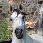 Daihhkirah Rvegas (Mencey RV x Dihhdinah D) 2012 grey mare bred by Mas de Lafon, France