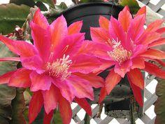 "Epiphyllum ""Impossible Dream"""