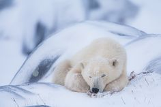 Is that a rock or is that a bear? This little fella nestles up in the cantors of the boulders. Photo © copyright by Lance Carter. #photography #fineart #wilderness #polar #bear