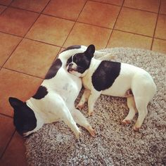 Two Very Sleepy Pied French Bulldogs.