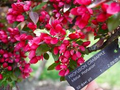 'Profusion' ornamental crabapple - Gorgeous dark pink flowers cover these trees first part of spring.