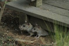 Mama Rat and Baby Rat by Annette Herz, via Flickr