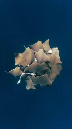 The cownose rays dance in colour. One of most memorable underwater encounters on the Ningaloo Reef. Underwater Creatures, Ocean Creatures, Beautiful Sea Creatures, Animals Beautiful, Cute Funny Animals, Cute Baby Animals, Nature Animals, Animals And Pets, Wale