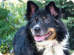 Denver, CO - Australian Shepherd Mix. Meet XENA, a dog for adoption. http://www.adoptapet.com/pet/16473858-denver-colorado-australian-shepherd-mix